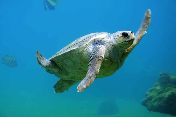 turtle animal diving reptile